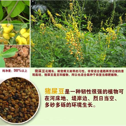 猪屎豆 - 第1张  | 中草药图片大全-中药的功效与作用